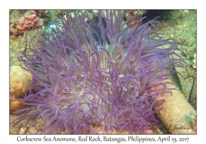 Corkscrew Sea Anemone