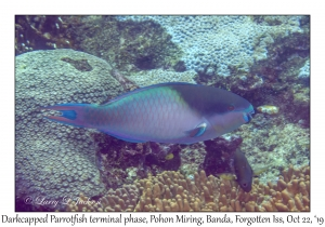 Darkcapped Parrotfish